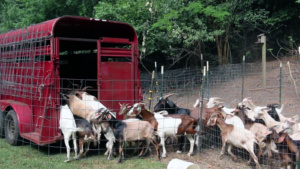 A herd of 40 goats leaves Clemson University in late June after spending about six weeks helping to rid a forested area of invasive plants.
