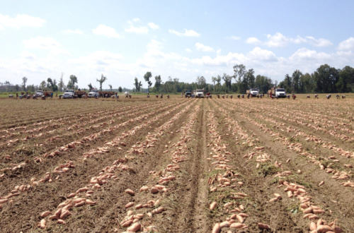 Clemson officials report about 2,000 pounds of sweet potatoes are grown in South Carolina.