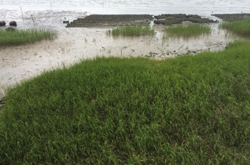 "Amanda McNulty of Clemson's award-winning gardening show, ""Making It Grow,"" learns about how students are restoring Spartina alterniflora in the salt marsh around James Island near Charleston."