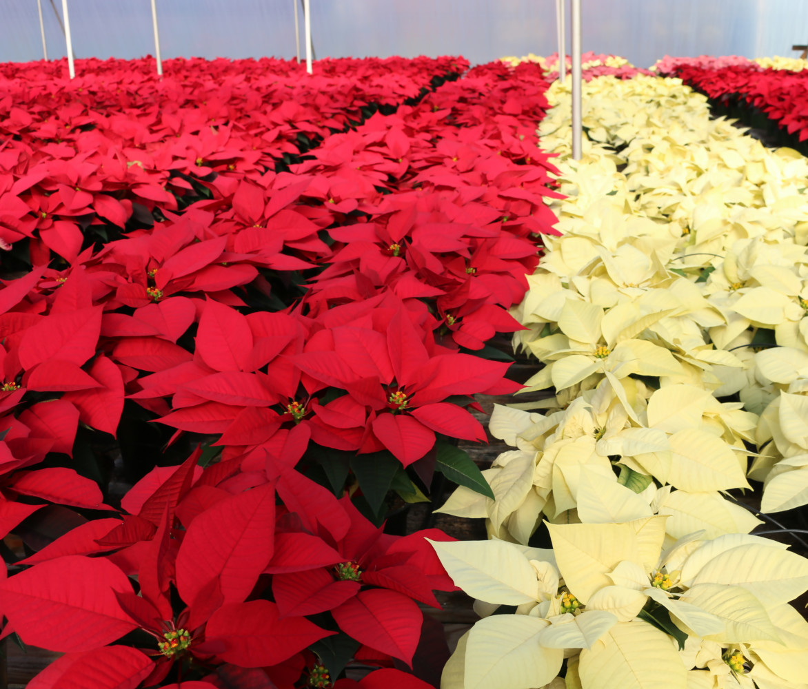 Poinsettia care at home 43