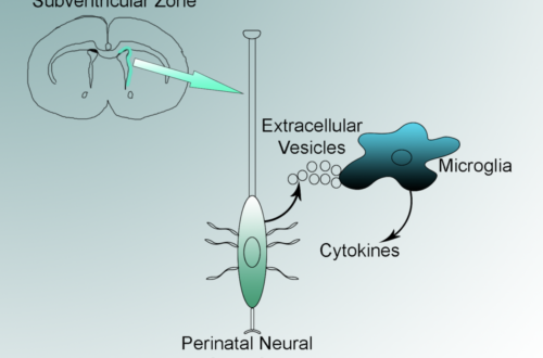 Extracellular vesicles are released from neural stem cells, which line the outside of the brain's ventricles.