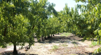 This peach orchard at Titan Farms in Ridge Spring, S.C., is a study site for the multi-state Armillaria root rot study.