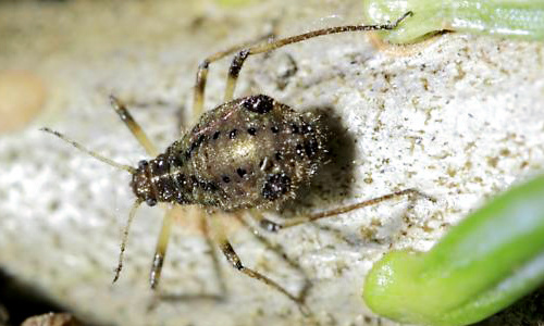 Cinara aphids can be brought inside on Christmas trees.