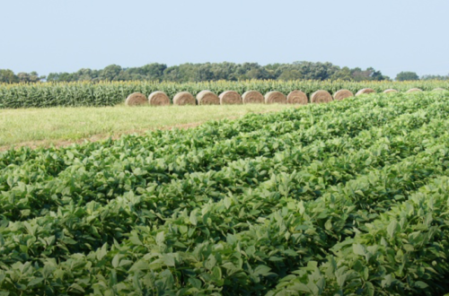 Rows of crops are seeing growing in a large field, with haybales visible in the background.