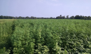 Clemson experts report industrial hemp grew well in South Carolina during its first year of production in 2018.